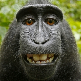 black-macaque-monkey