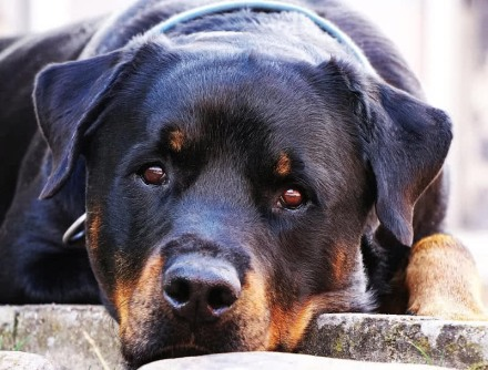 rottweiler governing guarding